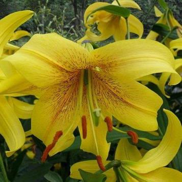 Лилия Gold Class (Orienpet Hybrid Lily 'Gold Class') ОТ-гибрид .луковица 16/18 Голландия