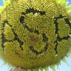 Семена подсолнечника БЕНЕТО (Экстра) (А-F), ASP