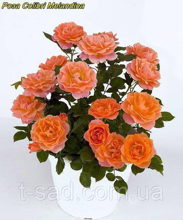 Роза Colibri Meillandina (Колібрі Мейяндина) Мініатюрна
