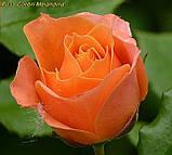 Роза Colibri Meillandina (Колібрі Мейяндина) Мініатюрна, фото 2