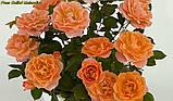 Роза Colibri Meillandina (Колібрі Мейяндина) Мініатюрна, фото 3