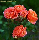 Роза Colibri Meillandina (Колібрі Мейяндина) Мініатюрна, фото 4