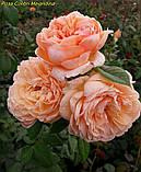 Роза Colibri Meillandina (Колібрі Мейяндина) Мініатюрна, фото 5