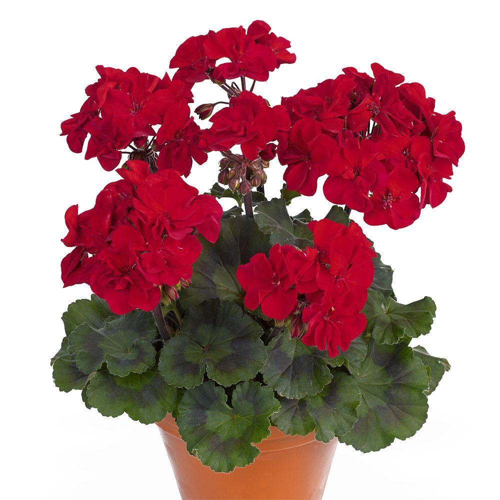 вот картинки комнатных цветов с названиями герань ингредиенты, лёгкий