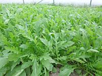 Семена руккола