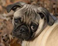 В Японії собак здають в погодинну оренду