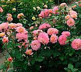 Роза Augusta Luise (Августа Луиза), фото 7