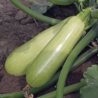 Семена кабачка Байя F1 (CB 1146), 500 сем