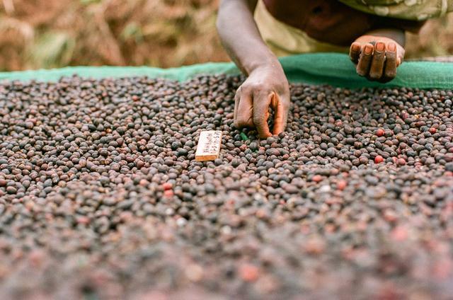 Кофе в Бурунди, как выращивают и собирают, обработка кофе в Бурунди