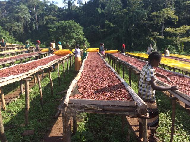 Кофе Эфиопия Сидамо, обработка и сбор кофе Эфиопия Сидамо, африканские кровати