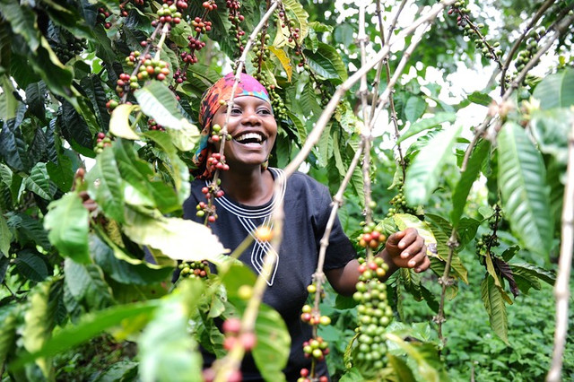 кофе Руанда, как обрабатывают кофе в Руанде, купить кофе из Руанды