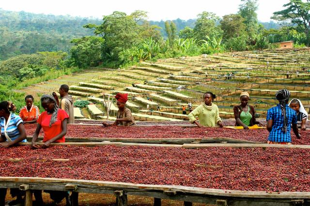 Кофе Эфиопия Джимма, выращивание и сбор кофе в Эфиопии, обработка кофе