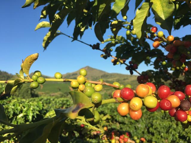Бразилия кофе Серрадо как растет, выращивание и сбор кофе в Бразилии