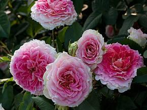 Роза Цезарь (Cesar) Плетистая, фото 2