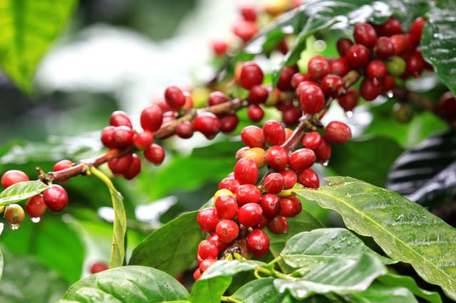 Кофе Бразилия Сантос как растет, кофейное дерево в Бразилии