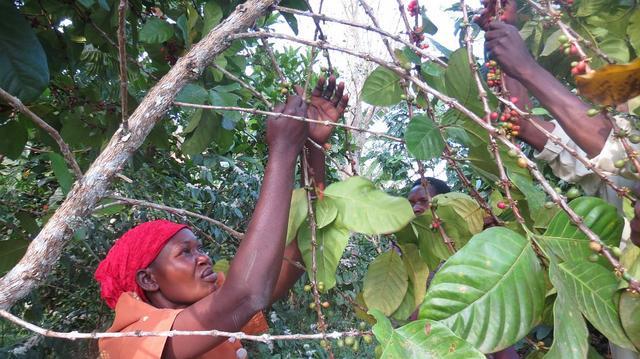 Кофе Уганда, как растет кофе в Уганде