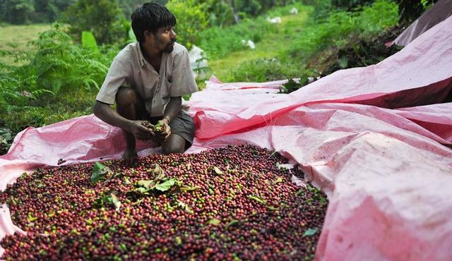 Кофе Индия, Индийская робуста Черри, заказать в интернет магазине с доставкой, как растет робуста в Индии