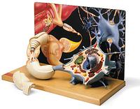 Диорама двигательного нейрона.