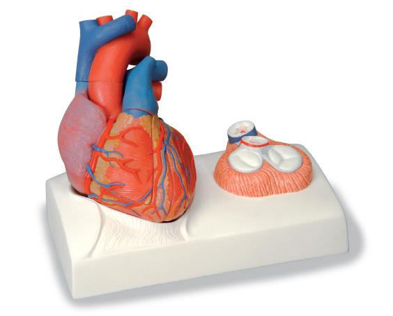 Магнитная модель сердца, в натуральную величину, 5 частей