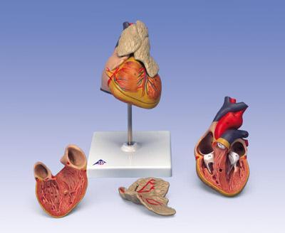 Классическая модель сердца с вилочковой железой, из 3 частей.