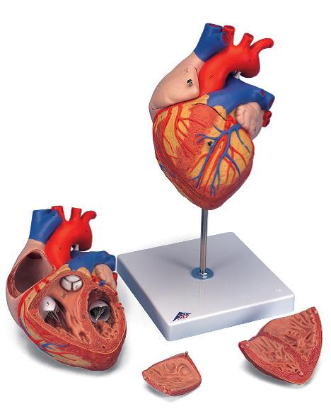 Сердце, увеличение в 2 раза (4 части)
