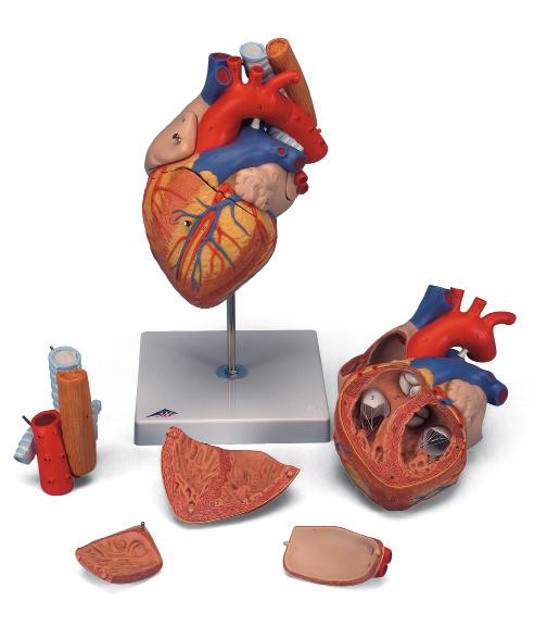 Сердце с пищеводом и трахеей, увеличение в 2 раза (5 частей).
