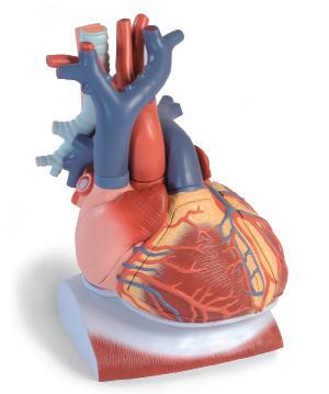 Сердце на диафрагме, увеличение в 3 раза (10 частей).