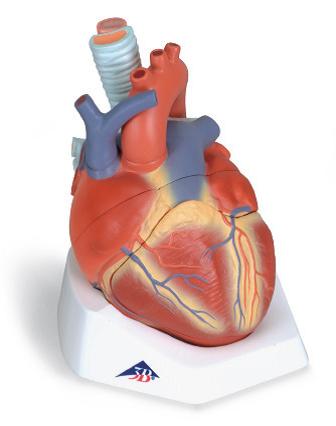 Сердце (7 частей).