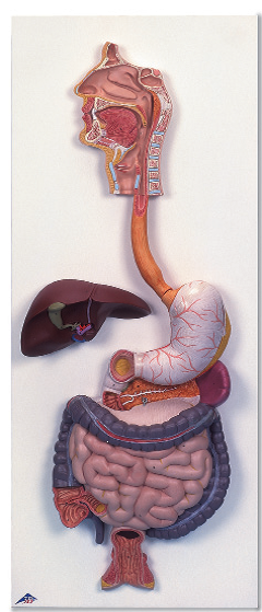 Пищеварительная система (3 части).