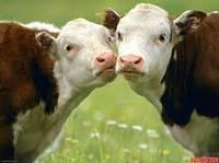 Сухое молоко для телят (с 10 по 20 день)