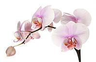"""Фотообои на стену под заказ """"Розовые орхидеи"""""""