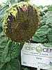 Семена подсолнечника РИМИ под Евролайтинг, Урожайный, Масличный, Устойчив к жаре и заразихе.