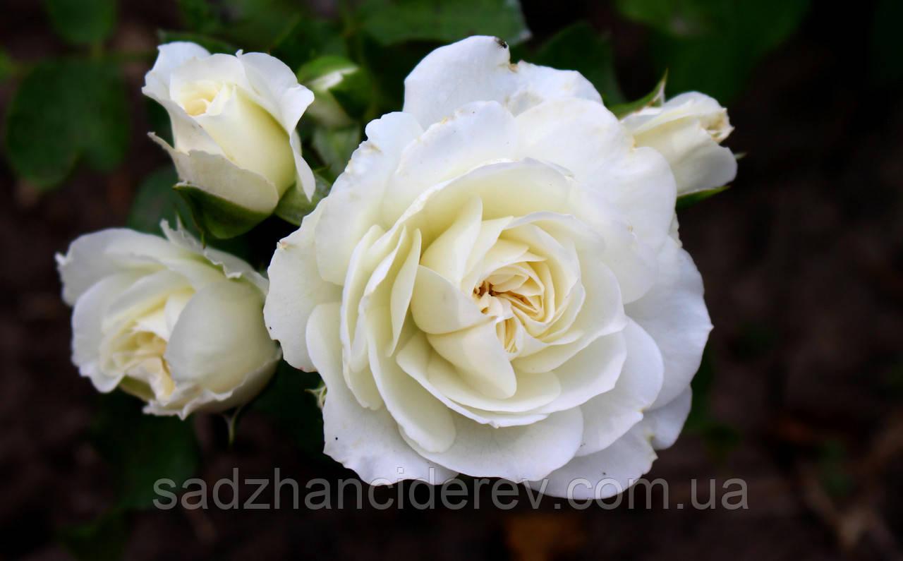 Саджанці Троянд  Вайт Мейдланд (White Meidiland)