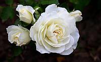 Саджанці Троянд  Вайт Мейдланд (White Meidiland), фото 1