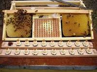 Система Nicot (Никот) для вывода пчелиных маток