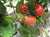 Семена томата Касамори F1 (500c) высокорослый розовый ранний