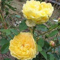 Роза английская Мулинекс