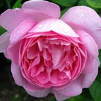 Троянда англійська Мері Роуз