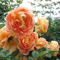 Троянда англійська Пет Остін