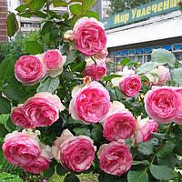 Троянда англійська Еден Роуз