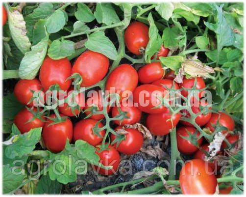 Купить Насіння томату детермінантного 3402 F1 середньостиглий (5000 нас.) Lark Seeds