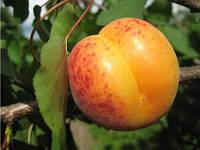 Саженцы абрикоса Мелитопольский ранний, фото 1