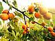 Саженцы абрикоса Мелитопольский ранний, фото 3