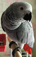 Жако - ручные птенцы, фото 1
