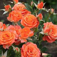 Роза бордюрная Алегрия
