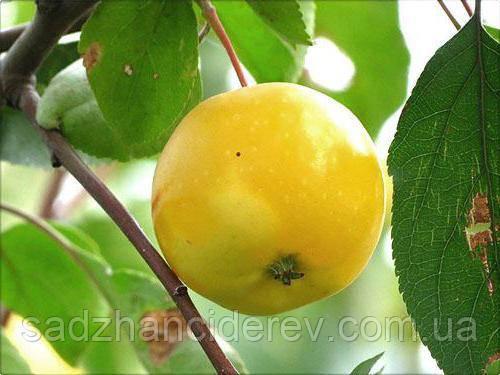 Саджанці яблунь Ренет Ландсбергський (Renette Landsberger, Ренет ландсбергский)