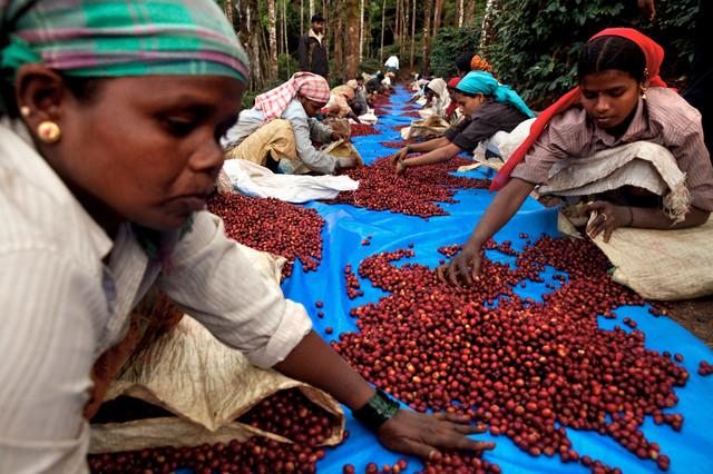 Арабика Индия Плантейшн АА сбор и обработка кофе