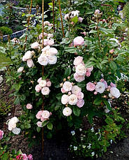 Роза Букет Парфе (Bouquet Parfait) Шраб', фото 2