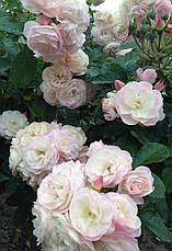 Роза Букет Парфе (Bouquet Parfait) Шраб', фото 3