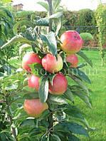 Яблоня колонновидная ТРИУМФ, фото 1